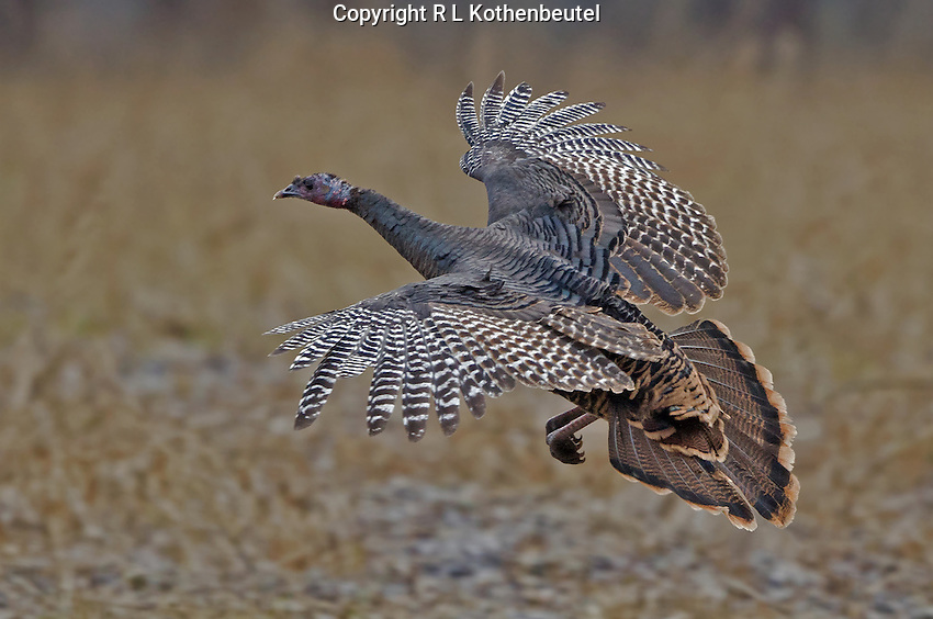 Wild turkey flight - photo#14