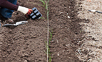 A gardener uses a trowel to transplant onion seedling transplants into the compost-rich soil of a garden bed in a vegetable kitchen garden.