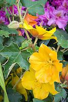 Fremontodendron California Glory (AGM)