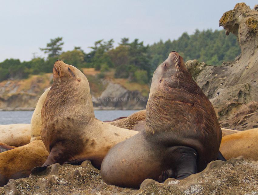 Steller sea lions hauled out on Sucia Island in Washington State's San Juan Islands