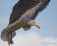 1128-1004  Western Gull, Larus occidentalis  © David Kuhn/Dwight Kuhn Photography