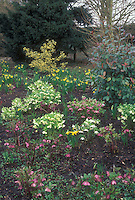 Clumps of different colored Hellebore plants in flower in garden use in spring, with daffodils Narcissus blooming, Holly Ilex, Rhododendron, evergreen trees, and wet soil ground visible. Colors include white, cream, red pink