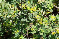 The native Hawaiian 'akia plant is either male or female. Female plants, after flowering, produce attractive round fruits which are yellow, orange or red.