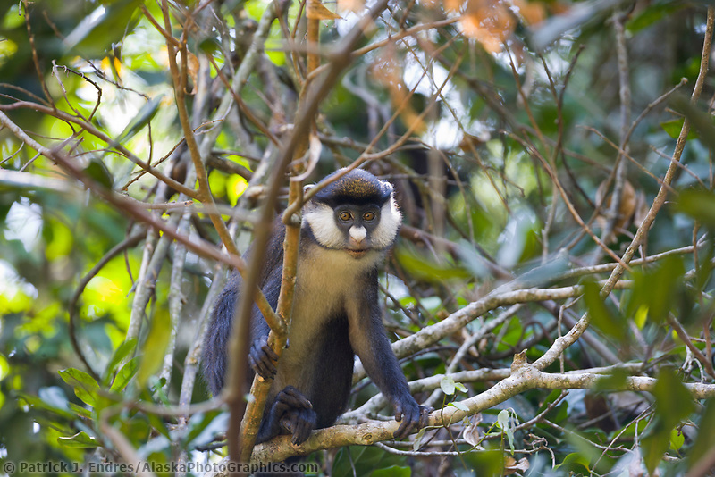 Red-tailed monkey, Cercopithecus ascanius, Queen Elizabeth National Park, Uganda, East Africa