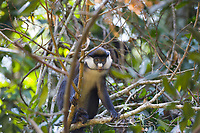 Red-tailed monkey, Cercopithecus ascanius, Queen Elizabeth National Park, Uganda, East Africa