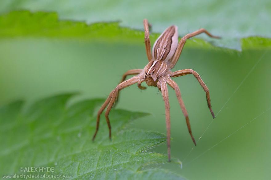 Nursery Web Spider {Pisaura mirabilis} hunting amongst stinging nettle leaves. Norfolk, UK. September.