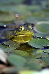 Frogs, Green Frogs