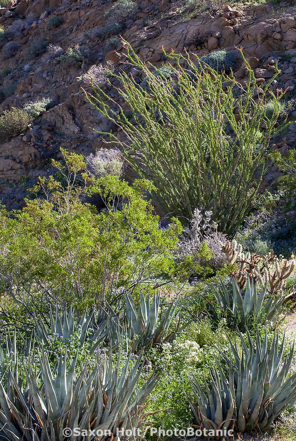 Desert landscape as garden with Creosote Bush (Larrea tridentata), Desert Agave, and Ocotillo (Fouquieria splendens) and wildflowers, California native plant Anza Borrego State Park
