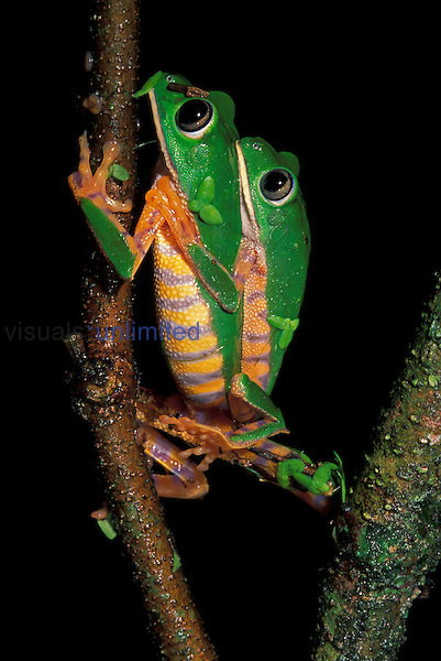 Tiger-striped Leaf Frogs mating on a branch  (Phyllomedusa tomopterna),  Tambopata Candamo Reserve,  Peru