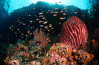 The strong currents in the Misool area create perfect conditions for filter feeders such as soft corals, sea fans and sponges and on most areas, the rocky substrate is literally carpeted in life.  Plankton feeding fish - such as anthias - are also prolific. The reefs of Raja Ampat are some of the most diverse and healthiest in the world.
