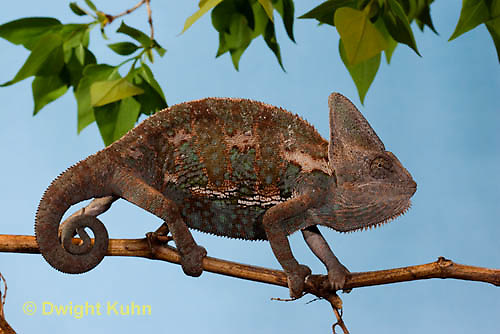CH39-532z  Male Veiled Chameleon in display colors, Chamaeleo calyptratus