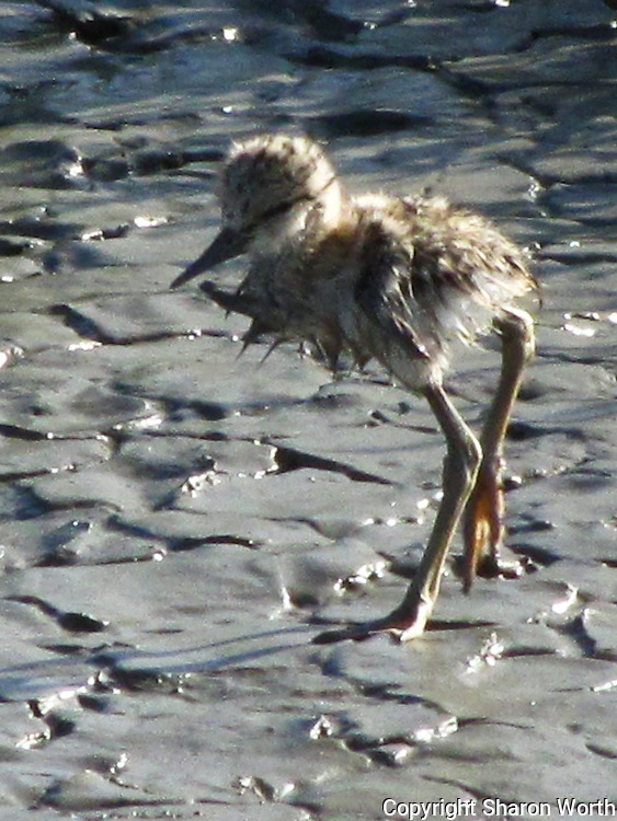 A cropped version zooming in on the wet Avocet chick fresh from its water-world experience.<br />