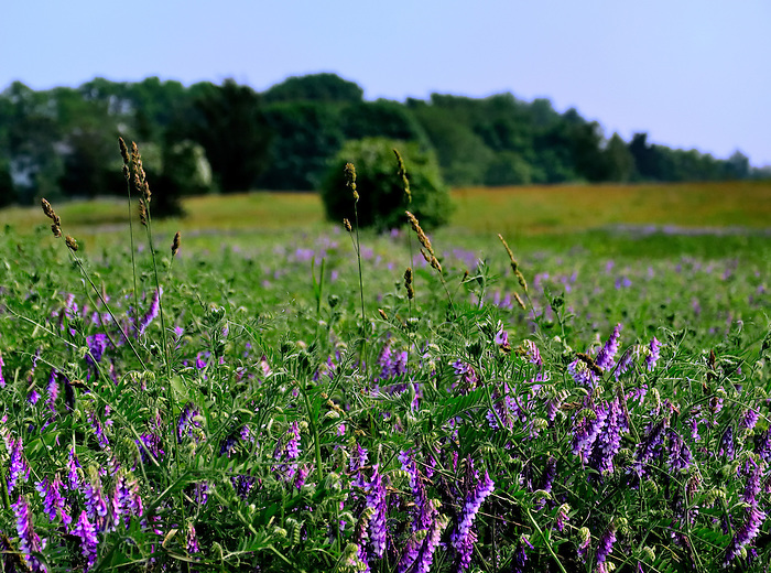 A Field of Purple Flowers across from the One Woman Vineyard in Southold, Long Island