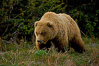 A Brown Bear in spring coat enters the sedging field, Lake Clark National Park, Alaska