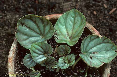 HS06-002a  Asexual Reproduction - leaf cuttings from Peperomia - Peperomia caperata