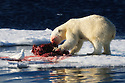 Polar bear (Ursus maritimus) and Ivory gull (Pagophila eburnea) in Svalbard