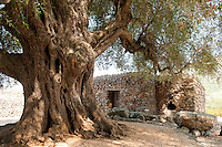 Baunei, Gulf of Orosei, Sardinia, Italy, September 2012. Donkeys and ancient olive trees surround the medieval Spanish San Pietro Church on Golgo. Giampietro Carta lives his life on the Ovile Carta, a rifugio where he cooks typical sardinian food for his guests but is best known for his guided hikes through the rough terrain.  Far away from the touristic Costa Esmeralde lies the wildest coastline of Sardinia. The turquoise waters of the Gulf of Orosei are lined by steep limestone cliffs. The wild rocky hinterland, that is home to shepherds who herd their sheep through the scrubby bushes, oak and juniper trees, offers some of the most spectacular hiking in Italy. Photo by Frits Meyst/Adventure4ever.com