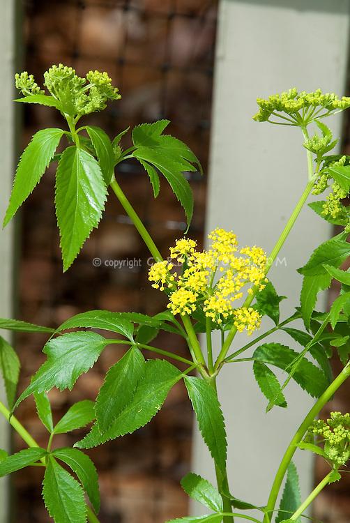 Zizia aurea (golden zizia) native american wildflower with yellow umbels