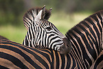 Burchell's (plains) zebra, Equus burchelli, resting, Kruger National Park, South Africa