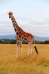 Africa, Kenya, Nanyuki. Reticulated Giraffe of Ol Pejeta Conservancy.