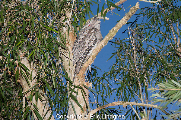 An Australian Tawny Frogmouth (Podargidae: Podargus strigoides), also known as Tawny-shouldered Frogmouth, or (incorrectly) as Mopoke, Morepoke and Frogmouth Owl, roosts during the daytime in a Cajuput Tree (Myrtaceae: Melaleuca leucadendra (= leucadendron) in a suburban street. Its mate may be sitting on a nest nearby.  //  Frogmouth: Length to 50cm, nocturnal, preys on insects and small vertebrates, open woodland throughout Australia, Tasmania, southern New Guinea, weak anisodactyl toes useless for catching prey;  /  Cajuput Tree: to 40m, tropical Australia, especially near water, paperbark, drought tolerant, popular in gardens and parks;