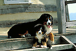 Bernese Mountain Dog Shopping cart has 3 Tabs:<br /> <br /> 1) Rights-Managed downloads for Commercial Use<br /> <br /> 2) Print sizes from wallet to 20x30<br /> <br /> 3) Merchandise items like T-shirts and refrigerator magnets