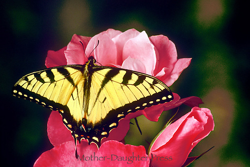 Gorgeous Tiger swallowtail butterfly, Pterourus glaucus, on elegant pink rosebuds, Midwest USA