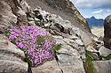 Moss Campion {Silene acaulis} growing amongst rocks at 2800 metres altitude. Gran Paradiso National Park, Aosta Valley, Pennine Alps, Italy. July.