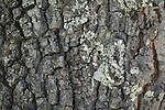 Bark patterns of Emory oak (Quercus emoryi), Coronado National Forest, Arizona