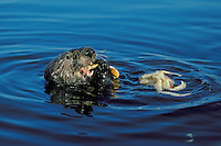 Sea Otter (Enhydra lutris) eating crab in Monterey Bay, CA. eating crab in Monterey Bay, CA.