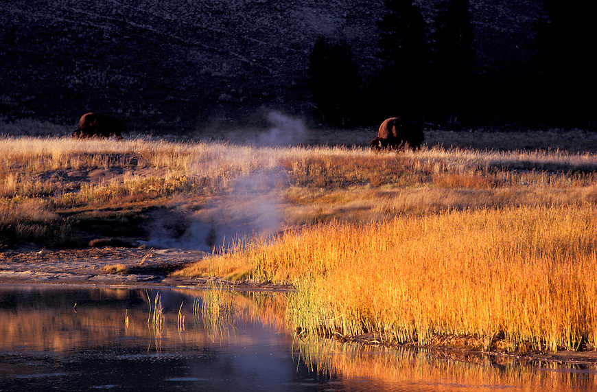 Bisons (Bison bison) at a steaming River, Yellowstone National Park, Wyoming, USA