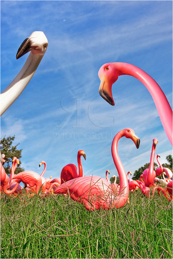Does any of you locals remember those pink flamingos at the corner of 360 and 2244? I have a few images of this iconic Austin, Texas, location and with memories remember how the flamingos would be decorated according to the season - with pumpkins at Halloween, with candy canes at Christmas, and various other recognizable traditions. Keep Austin weird!