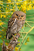 Elf Owl .Micrathene whitneyi.Tortalita Mtns., Tucson, ARIZONA,.April   Adult       CAPTIVE.Strigidae..