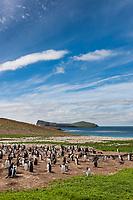 Gentoo penguin colony, Pygoscelis papua, New Island, Falkland Islands