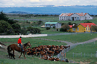 A Chilean cowboy moves his herd on a ranch near Punta Arenas, Chile.