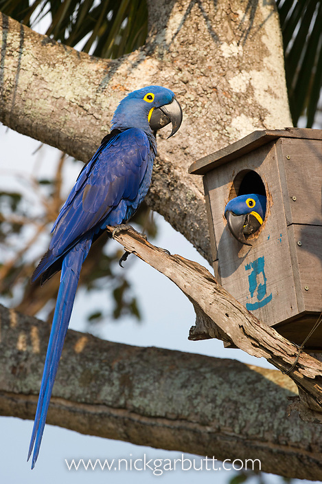 A pair of Hyacinth Macaw (Anodorhynchus hyacinthinus) at nest thier nest box. Araras Lodge, Mato Grosso, Northern Pantanal, Brazil.