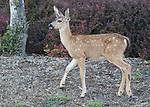 FB 405  Mule Deer fawn.  5x7 postcard