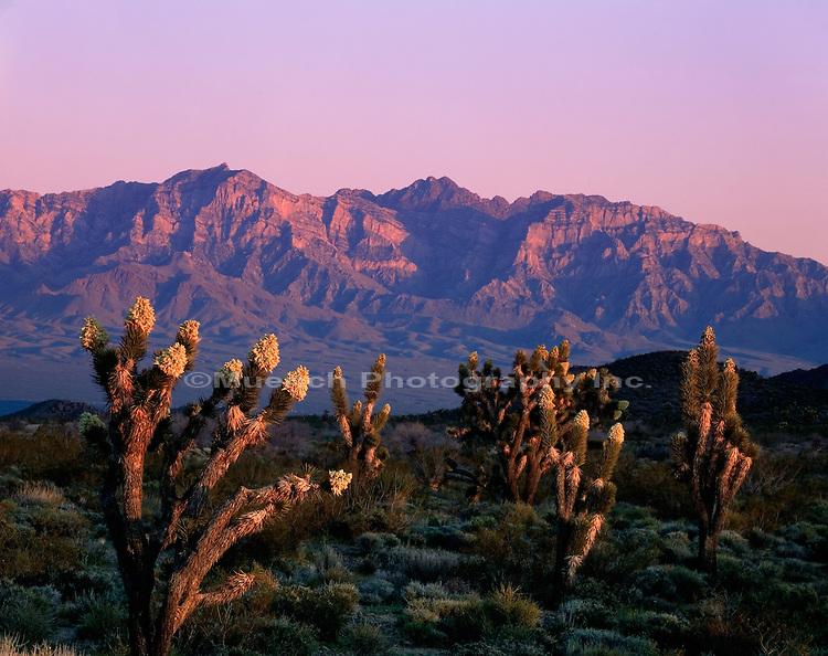 Joshua Trees, Mojave National Preserve, Providence Mountains
