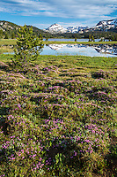 Wildflowers and mountain lake in the Beartooth Mountains
