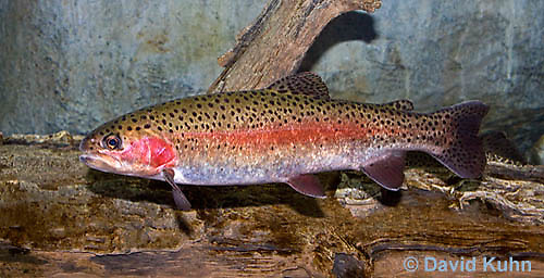 "1214-0907  Rainbow trout or Inland Redband Trout, Oncorhynchus mykiss or Salmo gairdneri ""from New England, United States""  © David Kuhn/Dwight Kuhn Photography"