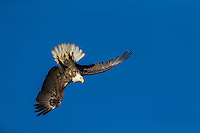 Bald eagle preforming aerial acrobatics in flight