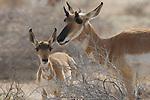 Baja California Pronghorn, female & fawn, El Vizcaino Biosphere Reserve, Baja California, Mexico