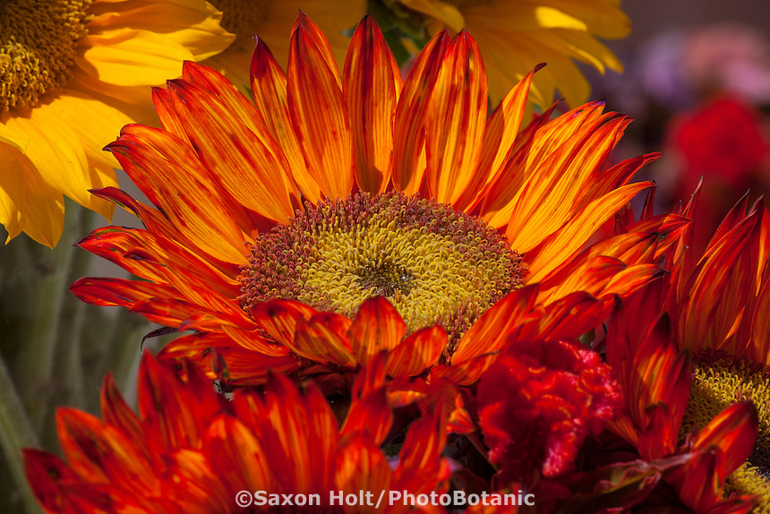 Helianthus annuus, Orange colored sunflower (with dye in water), at California Spring Trials 2015, flower display at American Takii Seed, Salinas California