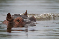 A close-up view of a hippopotamus wallowing in the water, Botswana, Africa