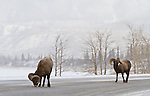 Two bighorn sheep along the roadside during a light snowfall.