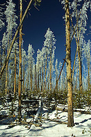 Trees ravaged by forest fires take on a beauty of their own again with an early fall frost.