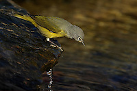 Water is the integral fabric in the quilt of life. In addition, most of the important chemical reactions of life take place in water. Nashville Warbler.