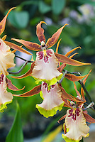 Intergeneric orchids Aliceara (Alcra) Sunday Best 'Muffin', HCC/AOS with brown, pink, red, and green flowers