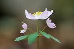 Windflower (Thalictrum thalictrodes), Eno River State Park, North Carolina
