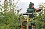 Foto: VidiPhoto<br /> <br /> LIENDEN - Weer of geen weer, voor boomkweker Johan Arends gaat het werk altijd door, ook als het regent. De regenbuien van de afgelopen dagen verhinderen bomen niet om te groeien, dus moeten de toppen ook aangebonden worden als de weersomstandigheden niet uitnodigen om buiten te werken.
